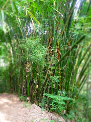 Bamboo Grove (little_duckie) Tags: minca bonda colombia southamerica finca cacao waterfall cascada jungle