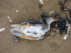 Dead Redshank (Puerto De Liverpool.) Tags: deadredshank redshank britishbirds birds sandpipersandallies tringatotanus crosbybeach liverpool merseyside thebeach sand shoreline coastal coastline shells seaweed deadbird