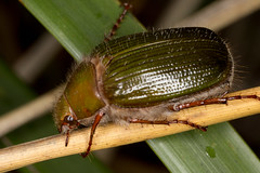 Pale Green Scarab (zosterops) Tags: australia tasmania hobart knockloftyreserve canoneos6d canonmacrolensmpe65 macro insecta coleoptera scarabaeidae xylonichus