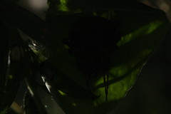 Lurking In The Shadows (guess what's on the other side?) (OrlandParkBirdieGirl) Tags: dark shadows natures mystery plants leaf sleeping arachnid orb weaver web silk lake katherine nature reserve botanic gardens palos heights illinois usa arthropod