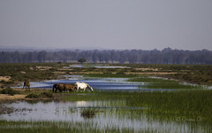 Crossing deep watered marsh (Osama Ali Photography) Tags:        horse horses caballo landscape marsh wildlife wild salvaje animal animals canon green verde fauna beauty spain espaa water agua nature natural natura naturaleza