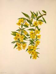 Anglų lietuvių žodynas. Žodis yellow jessamine reiškia geltona jazminas lietuviškai.
