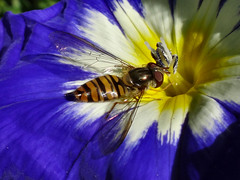 A Boon to Horticulture. Marmalade Hoverfly, Episyrphus balteatus, on Convolvulus tricolor, Dwarf Morning Glory, Hortus Botanicus, Amsterdam, The Netherlands (Rana Pipiens) Tags: hoverfly episyrphusbalteatus muscabalteata charlesdegeer hortusbotanicusamsterdamthenetherlands dwarfmorningglory convolvulustricolor entomology shnenmatsumura tusmanitsuadachi hokkaidojapan latin marmaladehoverfly caroluslinnaeus aphid horticulture agriculture