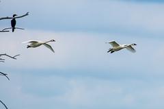 Jim B, Swans in Flight.jpg (PC of QC, AZ) Tags: swan bird birds subject travel zimmerman animal sherburnewildliferefuge minnesota