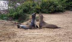 Seals 31 (DY Pics) Tags: elaphantseal seal animal nikon d7100 california sanmateocounty anonuevo