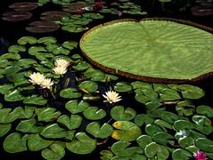 Water Lilies (mp13 nhnc) Tags: waterlilies pond waterflowers flowers leaves water green