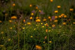 Retraite aux Flambeaux (Frdric Fossard) Tags: nature flore fleur plante alpage pr champ prairie herbe lumire florealpine fleurdemontagne bokeh flou profondeurdechamp art surraliste flamme jaune vert couleur feuillage tige alpes hautesavoie grappedefleurs macro ngc