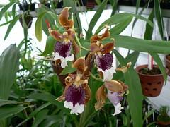 Oncidium (Odontoglossum) harryanum par Denis M (cattlaelia) Tags: cattlaelia orchid orchidée oncidium odontoglossum