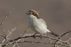Woodchat shrike (Lanius senator) (www.clivetemple.com) Tags: woodchat shrike birds bird uae dubai nature