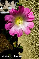 Bush Mallow (Bernsteindrache7) Tags: summer flora fauna outdoor landscape panasonic lumix flower garden bloom blossom blume pink color build