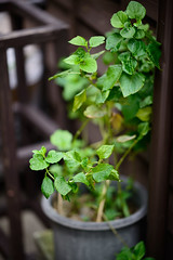 105mm f/1.4E - Color (H.H. Mahal Alysheba) Tags: nikon d800 afs nikkor 105mmf14 bokeh dof shibamata plant
