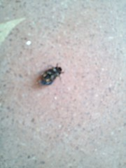 bug 7 bot (krihsnasri) Tags: hemiptera arthropod insect myriapod woodlouse terrestrialcrab pathogen bug slipperlobster trilobite