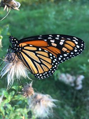 Beautiful Monarch (Foxy Belle) Tags: monarch butterfly orange insect animal nature plant endangered species north america black white