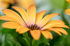 Sunny Delight (@richlewis) Tags: fujifilmxt1 fujinonxf90mmf2rlmwr fujifilmmcex11 fujifilmmcex16 fujinonteleconverterxf14xtcwr weinsberg germany flower yellow orange gold macro extensiontube
