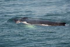 UNK.MN.CRESLI.2016-08-28-02 (ah_kopelman) Tags: unkmncresli2016082802 cresli megapteranovaeangliae montaukny montaukwhalewatch2016 vikingfleet humpbackwhale exif:isospeed=400 geocountry exif:make=nikoncorporation geocity geo:lat=40959628333333 geostate exif:focallength=400mm geolocation exif:model=nikond600 geo:lon=71845946666667 camera:model=nikond600 exif:aperture=ƒ56 camera:make=nikoncorporation
