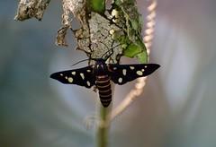 Moth (sreejithkallethu) Tags: mothsofindia moths mothsofkerala nature neeravil kollam kerala