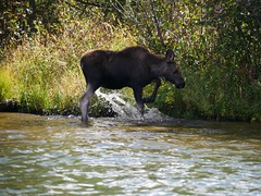 A young moose kicking up some water in Grand Lake. (sherrynelson) Tags: autumn lake colorado grandlake moose