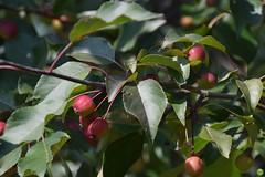 Crabapple named Ola? (petrOlly) Tags: europe europa poland polska polen lodz nature natura przyroda garden inthegarden summer fruit tree trees plants plant