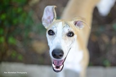 Toby (Rex Montalban Photography) Tags: tobyisone rexmontalbanphotography whippet