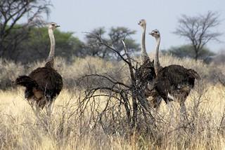 Namibia Plainsgame Hunt - Kalahari Desert 22