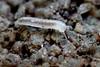 Little Spotted Millipede Blaniulus guttulatus (very young - 1 spot) (Bugldy99) Tags: millipede diplopoda animal nature outdoors myriapoda myriapod arthropod arthropoda