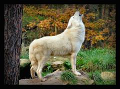 Polarwolf (karin_b1966) Tags: tier animal wolf natur nature wildparkaltefasanerieinhanau polarwolf 2014 yourbestoftoday
