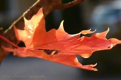 Autumn beauty / La Belleza del otoo (III) (suominensde) Tags: depthoffield plant planta tree arce maple outdoor nature naturaleza follaje foliage autumn otoo nikon d5300 macro bokeh