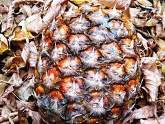 sweet on the inside (Lovely Pom) Tags: pineapple fruit food sweet ripe fall autumn rough texture leaves season