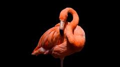 Flamingo / Fenicottero (bigmike.it) Tags: fenicottero uccello flamingo bird pink rosa black background sfondo nero animale animal
