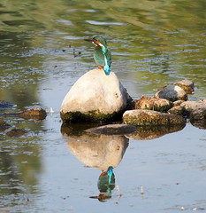 the patience (quarzonero ...Aldo A...) Tags: kingfischer martinpescatore bird coth5 coth sunrays5