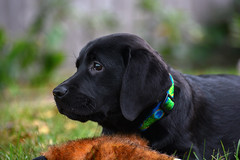 miles_9-28-16c (bmullaney1) Tags: black labrador dog retriever lab