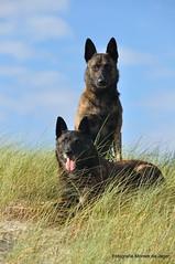 Eefke en Ippe van Stavast (moniek de jager) Tags: dog de hond jager hollandseherderdutchshepherdmoniek