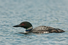 Common Loon (Ralf Nowak) Tags: ontario canada duck commonloon lodowiec combermere northerndiver greatnorthernloon nurlodowiec gaviaimmergreat
