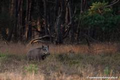 Wild zwijn (Ton van Weenen) Tags: wild pig veluwe varken zwijn