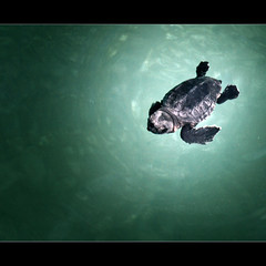 saving the baby turtle! (Spinool) Tags: baby beach water animal swim schildpad little trkiye salt hilton event seaturtle rare mediterraneansea 2012 protected osmaniye dalaman mugla sarigerme asiaminor noclueifthisisaboyoragirl