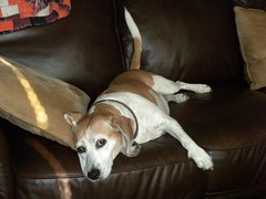 sofa Rosie (Just Back) Tags: dog haven beagle face comfortable fur cool mutt girlfriend hound canine paws comfy lovebug bwa canid outofafghanistan beaglewithattitude