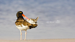 "Oyster Catcher Bird (Flickrtographer) Tags: ocean wild fish bird beach nature water birds outdoors bill sand nikon raw feeding florida wildlife beak feathers conservation sigma shore oystercatcher prey avian seabird seabirds waterbirds bif birdwatcher hatchling plumage shorebirds shorebird ftdesoto wadingbird orangebill outdoorsphotography naturewild surfbirds ""photographer"" sigmacorporationofamerica ""sigma"" ""floridaphotographer"" ""nikond7000"" birdstnc11 sigma50th photocontesttnc12 flickrtographer ©cindybryantphotography photoofthedaynwf12 ftdesotonationalpark ""©cindyjbryant"" ©20102012cindybryantphotography"" ""sigma150500mmf563oshsm"" ""sigmacorporationofamerica"" ""wildlifephotographer"" ""wadingbird"""