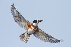 The Belted Kingfisher (bmse) Tags: canon chica kingfisher 7d bolsa 56 salah belted 400mm bmse baazizi