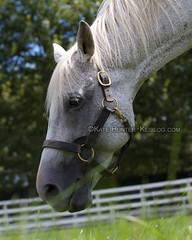 Silver Charm 2012 (KeibaKate) Tags: japan kentucky famous champion racing horseracing derby stallion racehorse thoroughbred kentuckyderby preaknessstakes dubaiworldcup shizunai baffert threechimneysfarm iburi silvercharm jbba