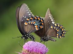 Wing Hugs (DrPhotoMoto) Tags: ngc northcarolina picnik papilio spicebushswallowtail richmondcounty troilus papiliotroilus
