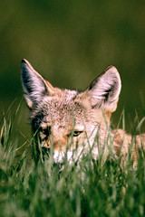 Careful of What's Lurking in the Grass (MInty_Verbeten) Tags: life coyote park wild canada field grass animal animals jasper small parks canadian hidden national alberta planet tall hiding lying jaspernationalpark lurking wildanimals coyotes