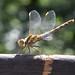 DSCF8023 Dragonfly
