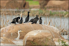 I'm sure there is a spy amongst us (....Nishant Shah....) Tags: india heron nature birds wildlife spy cormorant hyderabad