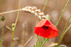 Lone poppy (Helen Flynn) Tags: canon d wheat poppy 50 hertfordshire select hitchinlavender cadwellfarm
