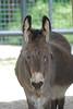 Hausesel im Parken Zoo in Eskilstuna (Ulli J.) Tags: zoo sweden schweden donkey sverige eskilstuna suède âne södermanland parkenzoo åsna hausesel