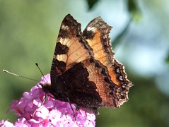 Small Tortoiseshell Butterfly (Cathpetsch) Tags: orange flower macro nature closeup butterfly wildlife tortoiseshell papillon mariposa soe aglaisurticae kleinevos schmetterling vlinder autofocus zevenbergen thegalaxy smalltortoiseshellbutterfly mygearandme flickrstruereflection1 flickrstruereflectionlevel1 allofnatureswildlifelevel1 rememberthatmomentlevel1 unlimitedinsectslevel1 top25naturesbeauty