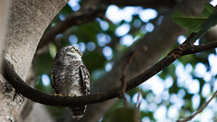 Spotted Owlet (Saurav Pandey) Tags: india bird nature birds bangalore owl karnataka sarjapur spottedowlet athenebrama bngbirds