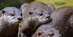 Otter family (PhenomenalKat) Tags: cute otter otters waterdroplets asiansmallclawedotter otterfamily wetotter otterfriends smallotters australiazoootters