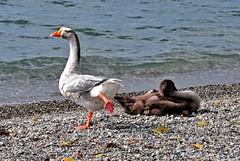 Klaxon (Diegojack) Tags: lac oiseaux morges klaxon oies mfcc