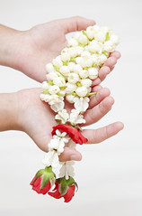 Thai culture jasmine in hand (anekphoto) Tags: life people woman white inspiration plant flower tree green love nature beauty thailand hope spring holding peace hand arm bangkok finger jasmine birth culture seed conservation palm safety growth help health thai backgrounds medicine agriculture care ideas protection healthcare isolated seedling concepts cultivated aisa fragility
